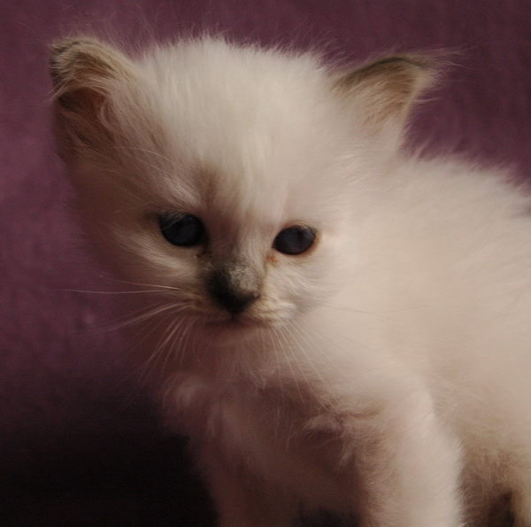 les chatons de bianca du bois de clamart sont n s. Black Bedroom Furniture Sets. Home Design Ideas